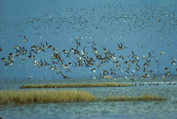 Flux migratoire des oiseaux en baie de l'aiguillon